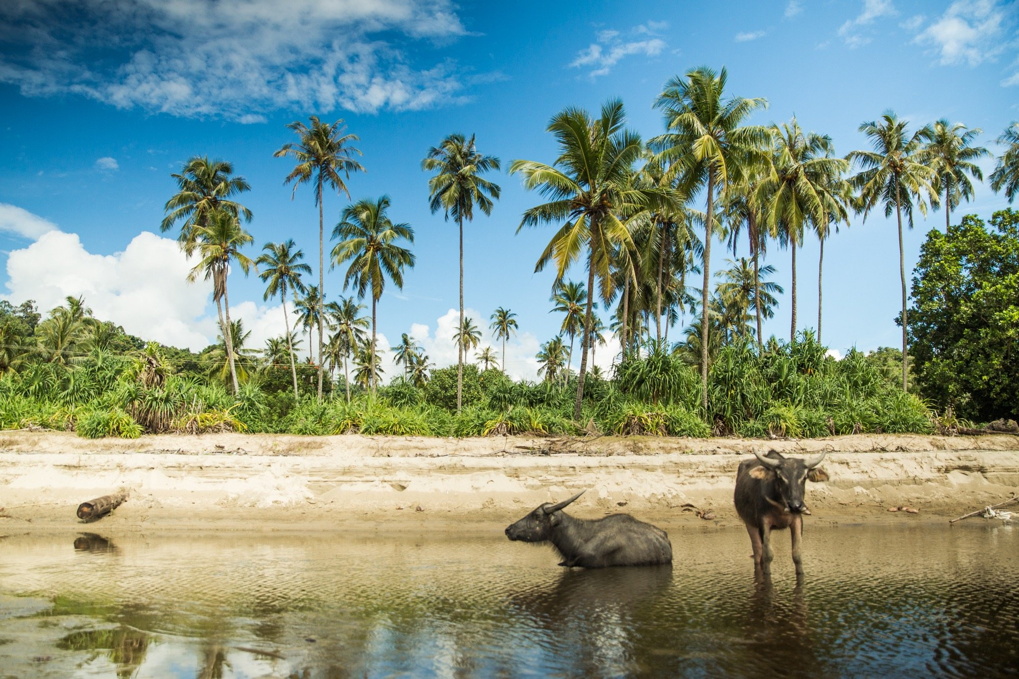 Sumatran buffaloes on Simeulue Island